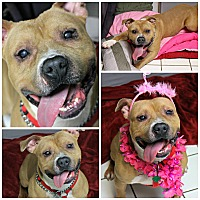 American Pit Bull Terrier Mix Dog for adoption in Forked River, New Jersey - Lexi