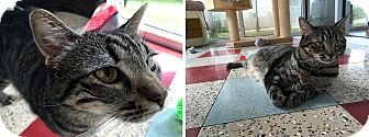 Domestic Shorthair Cat for adoption in San Antonio, Texas - April