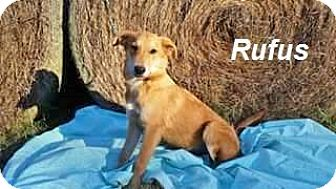 Collie Mix Puppy for adoption in Manchester, Connecticut - rufus in CT