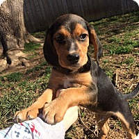 Adopt A Pet :: Leo (RBF) - Hagerstown, MD