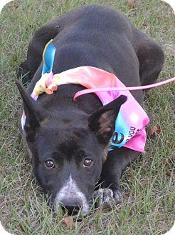 Schipperke/Labrador Retriever Mix Puppy for adoption in Manchester, New Hampshire - Debbie D