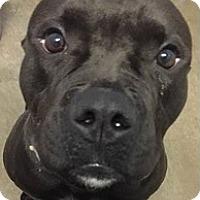 Adopt A Pet :: Apollo - Springdale, AR