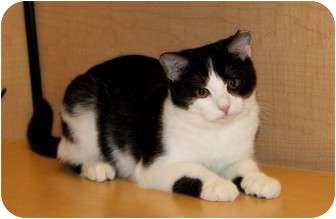 Domestic Shorthair Kitten for adoption in Nolensville, Tennessee - Mina
