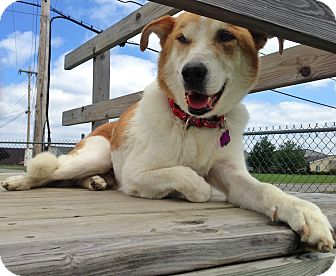 Husky/Shepherd (Unknown Type) Mix Dog for adoption in Youngstown, Ohio - Buddy ~ Adoption Pending