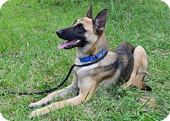 German Shepherd Malinois Mix Puppies Irie   Adopted Dog   I...