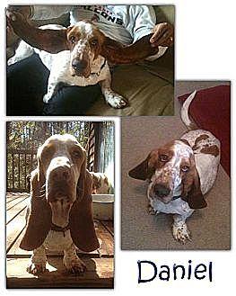 Basset Hound Dog for adoption in Marietta, Georgia - Daniel