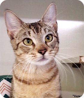 Domestic Shorthair Cat for adoption in Key Largo, Florida - Venus