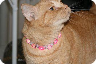 Domestic Shorthair Cat for adoption in Columbia, South Carolina - Cruz