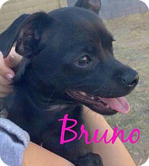 Pug/Chihuahua Mix Puppy for adoption in Scottsdale, Arizona - Bruno