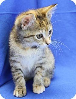 Domestic Shorthair Kitten for adoption in Winston-Salem, North Carolina - Carrie