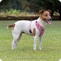 Adopt A Pet :: Polly - Conyers, GA