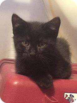 Domestic Shorthair Kitten for adoption in Saint Clair, Missouri - Mo