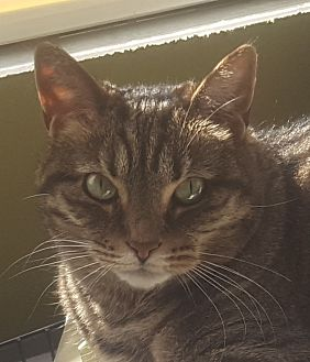 Domestic Shorthair Cat for adoption in Dundee, Michigan - Lilly T