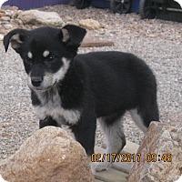 Adopt A Pet :: Shyshy - Tucson, AZ