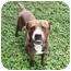 Photo 2 - American Bulldog Mix Dog for adoption in Key Biscayne, Florida - Tiger
