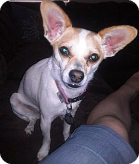 Jack Russell Terrier/Chihuahua Mix Dog for adoption in Gilbert, Arizona - Mia