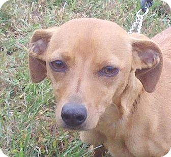 Dachshund Mix Dog for adoption in Hagerstown, Maryland - Sophia ($75 off)