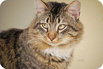 Maine Coon Cat for adoption in Trevose, Pennsylvania - Bobbi
