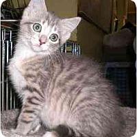 Adopt A Pet :: Rose Morticia Addams - Lombard, IL