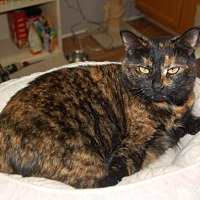 Adopt A Pet :: Pippa - Manning, SC