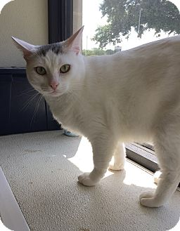 Domestic Shorthair Cat for adoption in Schertz, Texas - Romeo HL