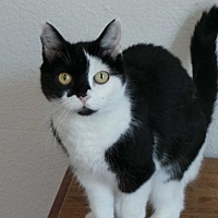 Domestic Shorthair Cat for adoption in Santa Monica, California - Callie