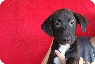 Labrador Retriever/Golden Retriever Mix Puppy for adoption in Oviedo, Florida - Princess