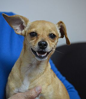 Chihuahua Mix Dog for adoption in Cranston, Rhode Island - Chloe