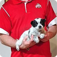 Adopt A Pet :: Bandit - New Philadelphia, OH