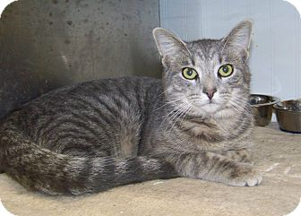 Domestic Shorthair Cat for adoption in Dover, Ohio - Rowley