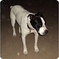 American Bulldog Mix Dog for adoption in Crescent, Oklahoma - Duke
