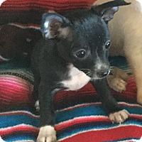Adopt A Pet :: Amanda - Gilbert, AZ