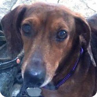 Dachshund Dog for adoption in Houston, Texas - Joe Jedi
