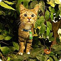 Adopt A Pet :: Captain - The Colony, TX