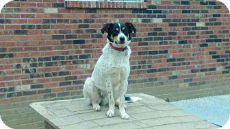 Australian Cattle Dog/Jack Russell Terrier Mix Dog for adoption in Russellville, Kentucky - Howie