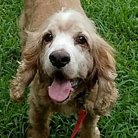 Adopt A Pet :: Beau - Sugarland, TX