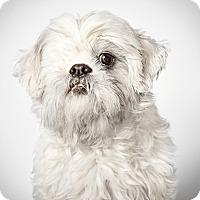 Adopt A Pet :: Kylie - New York, NY