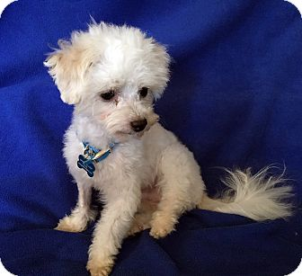 Maltese/Poodle (Toy or Tea Cup) Mix Dog for adoption in Encino, California - Einstein