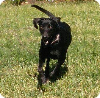 Labrador Retriever/Redbone Coonhound Mix Dog for adoption in Croydon, New Hampshire - Ellie - Adopted!