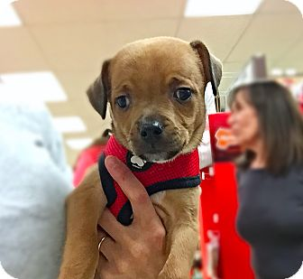Beagle Mix Puppy for adoption in New York, New York - Sally!
