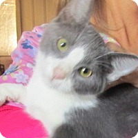 Domestic Shorthair Kitten for adoption in Germantown, Maryland - Pongo
