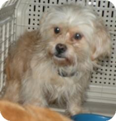 Chihuahua/Poodle (Miniature) Mix Dog for adoption in Medford, Massachusetts - Squeakie