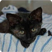 Adopt A Pet :: Sophie Kitten - Cincinnati, OH