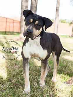 Boxer Mix Dog for adoption in Cat Spring, Texas - Cocoa
