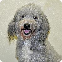 Adopt A Pet :: Mochi - Port Washington, NY