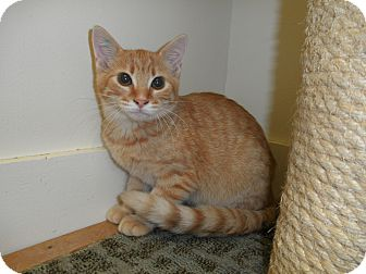 Domestic Shorthair Kitten for adoption in Milwaukee, Wisconsin - Kia