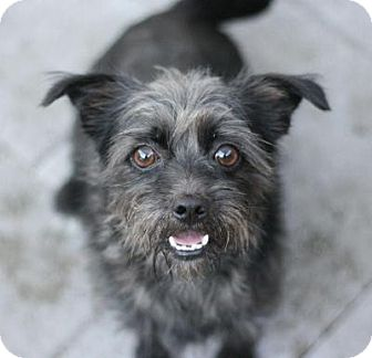 Schnauzer (Miniature) Mix Dog for adoption in Canoga Park, California - Ky