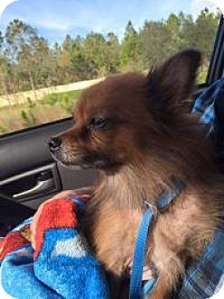 Pomeranian Mix Dog for adoption in New Smyrna Beach, Florida - Sassy