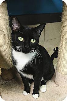 Domestic Shorthair Cat for adoption in Virginia Beach, Virginia - Kassie