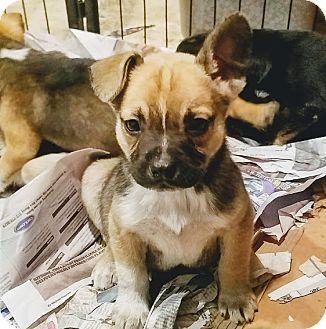 Adopt a puppy chicago il